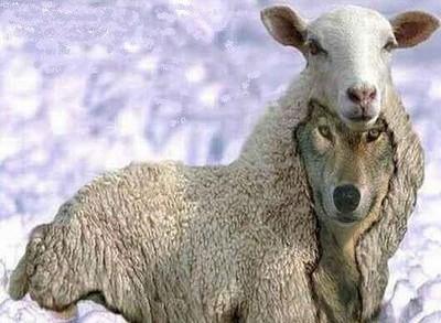loup-agneau